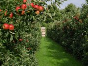 Sad, jabłonie
